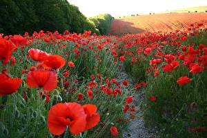 Photo Fields Poppies Many Nature Flowers