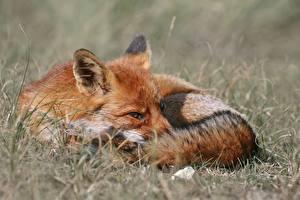 Fotos Füchse Orange rot Gras Liegen Unscharfer Hintergrund ein Tier