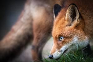 Bilder Füchse Blick Schnauze Unscharfer Hintergrund ein Tier