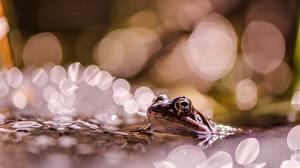 Wallpaper Frog Blurred background