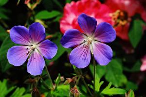 Bilder Geranien Hautnah 2 Blau Geranium pratense Blüte