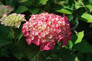 Bilder Hortensien Nahaufnahme Rosa Farbe Blumen