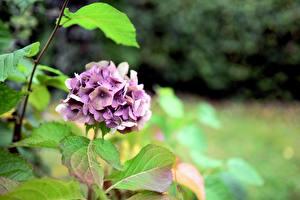 Bilder Hortensie Blattwerk Violett Bokeh