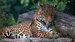 Image Jaguar Laying Sleeping Snout animal