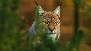 Bilder Luchs Unscharfer Hintergrund Schnauze Schnurrhaare Vibrisse Starren ein Tier