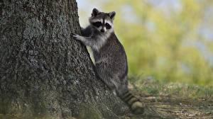 Fotos Waschbären Pfote Baumstamm Tiere