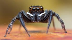 Fotos Webspinnen Hautnah Augen ein Tier