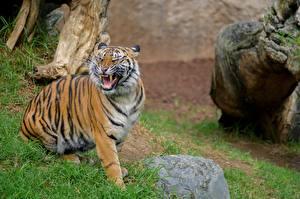 Fotos Stein Eckzahn Tiger Schnurrhaare Vibrisse Grinsen Sumatran Tiger Tiere