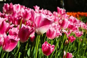 Hintergrundbilder Tulpen Viel Rosa Farbe Unscharfer Hintergrund Blüte