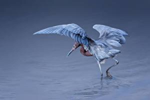 Hintergrundbilder Wasser Vogel Reiher Egretta rufescens