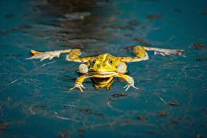 Image Water Frog