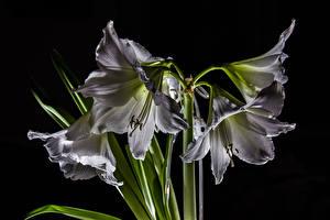 Fotos Amaryllis Großansicht Schwarzer Hintergrund Weiß Blüte