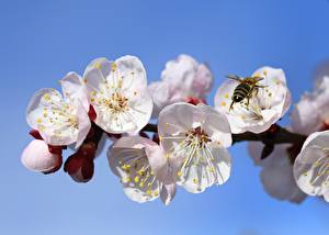 Pictures Apricot Bees Insects Spring Branches Flowers