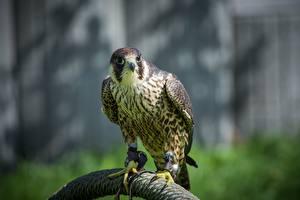 Hintergrundbilder Vögel Falken Blick