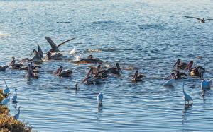 Bilder Vögel Pelikane Viel Wasser