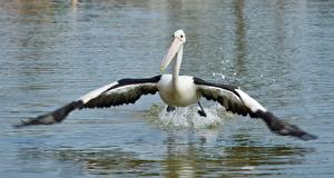 Fonds d'écran Oiseau Pélican Eau Aile un animal