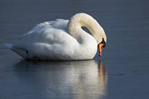 Pictures Bird Swan White Ice Food