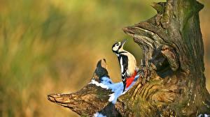 Fotos Vögel Spechte Baumstumpf ein Tier