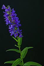 Fotos Schwarzer Hintergrund Violett Buddleja Blumen