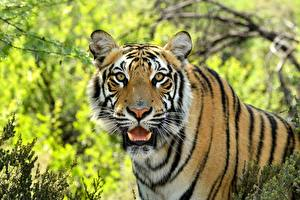 Hintergrundbilder Eckzahn Tiger Schnauze Schnurrhaare Vibrisse Starren ein Tier