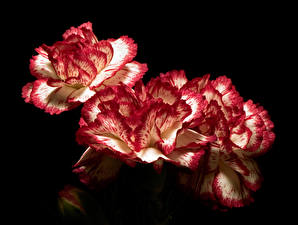 Image Dianthus Closeup Black background flower