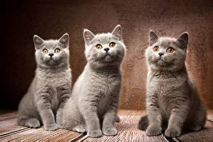 Pictures Cat British Shorthair Gray Three 3 Natalya Leis animal