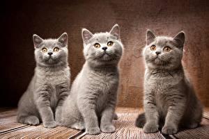 デスクトップの壁紙、、飼い猫、ブリティッシュショートヘア、灰色、三 3、Natalya Leis、動物