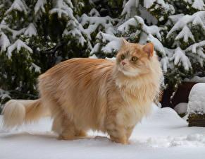 Papel de Parede Desktop Gatos Cor de gengibre Neve animalia