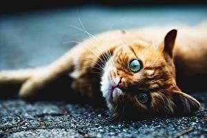Hintergrundbilder Katze Blick Ingwer farbe Liegt Tiere