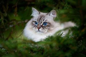 Fotos Katze Blick Neva Masquerade Cat Tiere