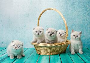 Pictures Cat Scottish Fold Kitty cat Wicker basket Natalya Leis
