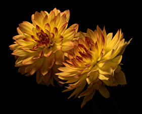 Desktop wallpapers Mums Closeup Black background 2 Yellow flower