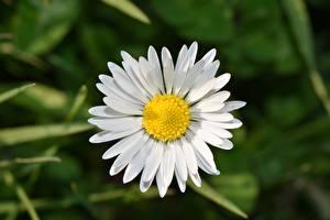 Hintergrundbilder Hautnah Kamillen Weiß Blüte