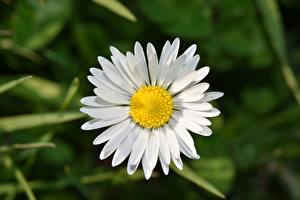 Wallpapers Closeup Matricaria White flower