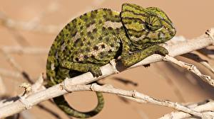 Pictures Closeup Chameleon Branches Animals