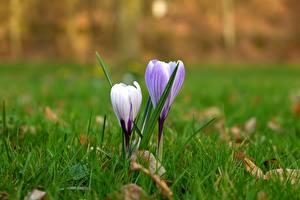 Fotos Großansicht Krokusse Gras Violett Blumen