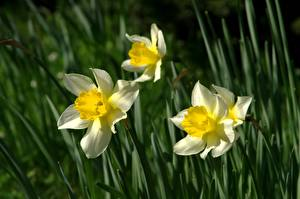 Fotos Großansicht Narzissen Bokeh Blumen