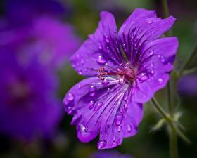 Bilder Hautnah Storchschnäbel Bokeh Violett Tropfen Blumen