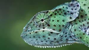 Hintergrundbilder Hautnah Kopf Chamäleons Seitlich Tiere
