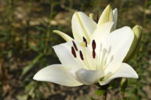 Hintergrundbilder Großansicht Lilien Weiß Blumen