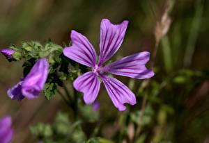 Bilder Hautnah Malven Violett Unscharfer Hintergrund Malva sylvestris Blüte