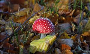 Bakgrundsbilder på skrivbordet Närbild Svampar natur Röd flugsvamp Löv Röd Natur