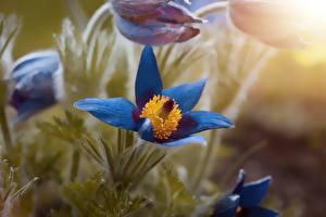 Fotos Hautnah Kuhschellen Unscharfer Hintergrund Blau Blüte