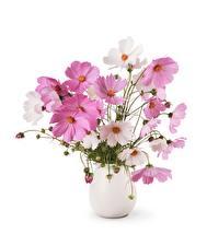 Hintergrundbilder Kosmeen Weißer hintergrund Vase Blumen