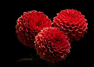 Bilder Georginen Großansicht Schwarzer Hintergrund Drei 3 Rot Blüte