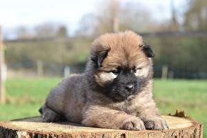 Hintergrundbilder Hunde Eurasier Welpe Liegt Starren Tiere