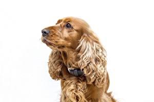 Hintergrundbilder Hund Spaniel Weißer hintergrund Blick ein Tier