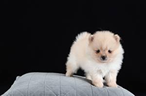 Bilder Hund Spitz Welpen Weiß Schwarzer Hintergrund ein Tier