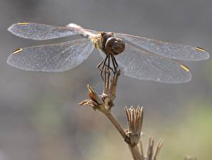Pictures Dragonfly Closeup Wings Animals