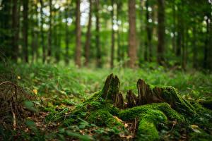 Hintergrundbilder Wald Baumstumpf Laubmoose Bäume Unscharfer Hintergrund